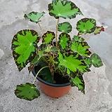 타이거베고니아 Begonia