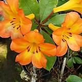 사계절꽃이피는 비례만병초 [소 ] 