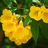 노랑능소화(꽃대소품)|