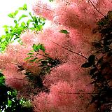 스모그트리 외목수형(자엽안개나무/1)-동일품배송|