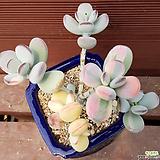 방울복랑금 0519|Cotyledon orbiculata cv variegated