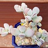 방울복랑금 0557|Cotyledon orbiculata cv variegated