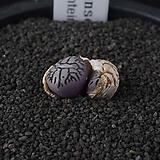 XP3476-C.wittebergense RR714 Klipfontein   위트버젠스  2두|Conophytum Wittebergense