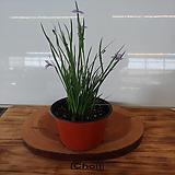 등심붓꽃(보라)1포트(12cm)한정판매|
