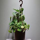 필레아페페 단품 공기정화식물|