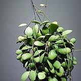 호야인큐어블라 수입식물 수입호야 7010019912|Hoya carnosa
