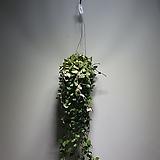 호야코니아나 수입식물 공중식물 khoniana 7010019912|Hoya carnosa