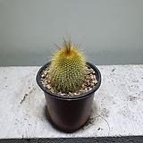 금황환 선인장 다육식물 공기정화식물 10152512|