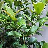 구아바 대품 과실수 공기정화식물 7010034915|