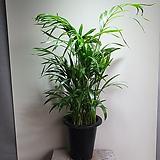 아레카야자 한정판매 공기정화식물 608016980|