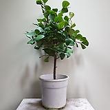 청스윗하트고무나무 중품 외목대 공기정화식물 457019910|Ficus elastica