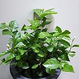 함박자스민 대품 공기정화식물 355015970|