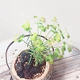 솔잎대극(예쁜꽃과 솔잎모양의 잎이 귀여운)미니고급 행잉수제분세트/마사/화산석 Handmade Flower pot