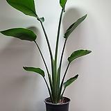 극락조 1촉 대품 7011019910 공기정화식물|