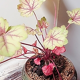 휴케라(황금빛잎장과 붉게물든 잎의 환상조합)묵은주 수제도자분세트/분갈이/마사/화산석 Echeveria sp SIMONOASA