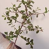 파라칸사스(시원스런 목대와 예쁜잎장의 외목수형)약100cm~11cm 