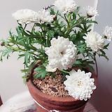 흰겹 목마가렛 행잉토분세트/분갈이/마사(하얀 꽃이 눈부신 흰겹목마가렛 목질화 자리 잘 잡아 멋스런) Echeveria halbingeri