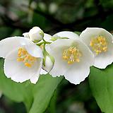 무늬고광나무(꽃대수형)|