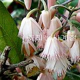 목가가미(꽃대수형/1)-동일품배송|