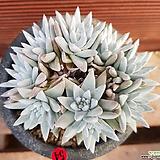 화이트그리니9두 0554|Dudleya White gnoma(White greenii / White sprite)