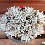 화이트그리니21두 0557|Dudleya White gnoma(White greenii / White sprite)