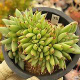 사치철화09|Echeveria agavoides f.cristata Echeveria