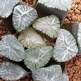 만상 백자 Haworthia maughanii