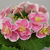 피터팬수국|Hydrangea macrophylla