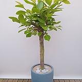 뱅갈고무나무 (고급폴리완성분) 대품 인테리어식물 카페화분 신혼집인테리어|Ficus elastica