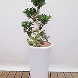 가지마루 흰색롱분완성분 축하화분 인테리어화분 사무실식물|
