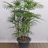 종려죽 포트 인테리어식물 회사식물 축하화분|