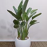 꽃피는 극락조 고급흰색원형완성분 인테리어식물 병원화분 축하화분|