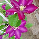 신종큰꽃클레마티스-핑크스타보호종으아리야생화|