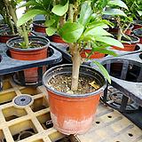 야래향나무외목2개자스민향기{기생초-모기가싫어하는향기|