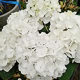 큰꽃수국-솜사탕 대품|Hydrangea macrophylla