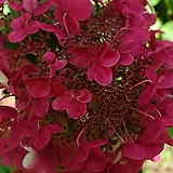 꽃대가득 윔스레드 목수국 전국노지월동가능 흰색에서빨간색으로 변하는 품종이죠.|Hydrangea macrophylla