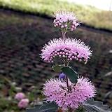 층꽃(분홍색) / 야생화 / 주말농장 / 조경 / 관상용 / 3치포트|