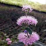 층꽃(분홍색) / 5묶음 / 야생화 / 주말농장 / 조경 / 관상용 / 3치포트|