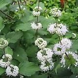 층꽃(흰색) / 야생화 / 주말농장 / 조경 / 관상용 / 3치포트|