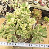묵은 웅동자금(대품한몸)-317 Cotyledon tomentosa ssptomentosa
