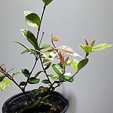 무늬백화등 중품 마삭 공기정화식물 25355930|