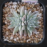 화이트그리니 자연목대 101|Dudleya White gnoma(White greenii / White sprite)