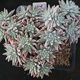화이트그리니 자연목대 105|Dudleya White gnoma(White greenii / White sprite)
