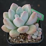 후레뉴 110|Pachyphtum cv Frevel