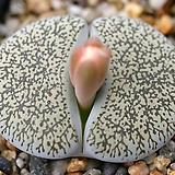 C308 lesliei ssp. burchellii  씨앗 (10립)|