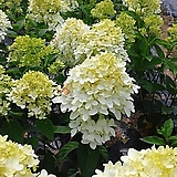 목수국 매직컬 캔들1포트(20cm)|Hydrangea macrophylla
