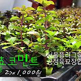 쵸코민트(Choco mint) 허브모종 2개 1000원 ( 5000원이상 배송가능)|Hub