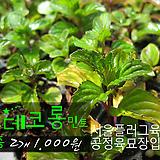 오데코롱민트(Eau de cologne Mint) 허브모종 2개 1000원 ( 5000원이상 배송가능)|Hub