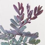 자엽아카시아(환상적인 색감의 외목수형)키90cm/토분별도 