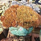 묵은고사옹철화대품122|Echeveria carnicolor